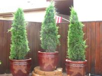 Potted Upright Juniper Screening