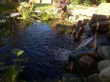 Koi Pond with Water Plants