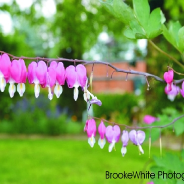 """""""Bleeding Hearts"""" or Dicentra, is a genus that has 8 species of perennial plants."""