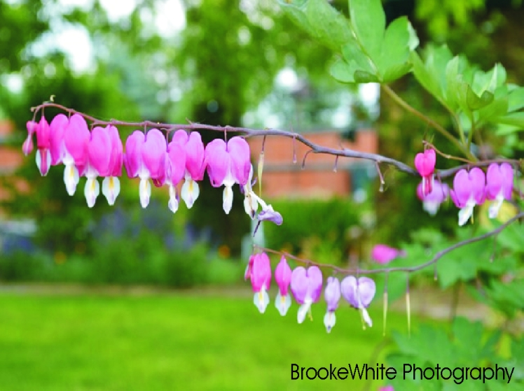 """Bleeding Hearts"" or Dicentra, is a genus that has 8 species of perennial plants."