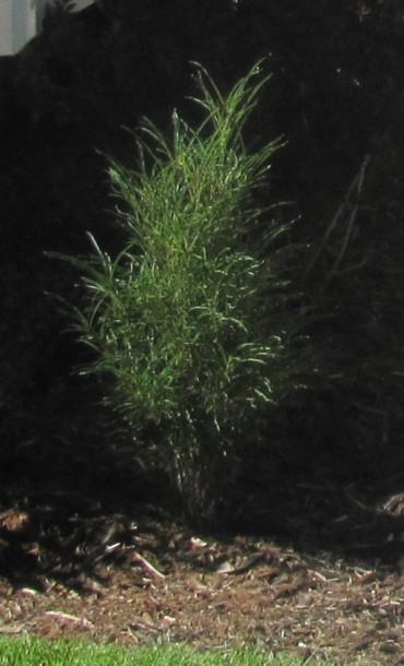 Tall Hedge Buckthorn