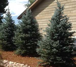 Living holiday trees