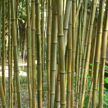 Yellow groove bamboo