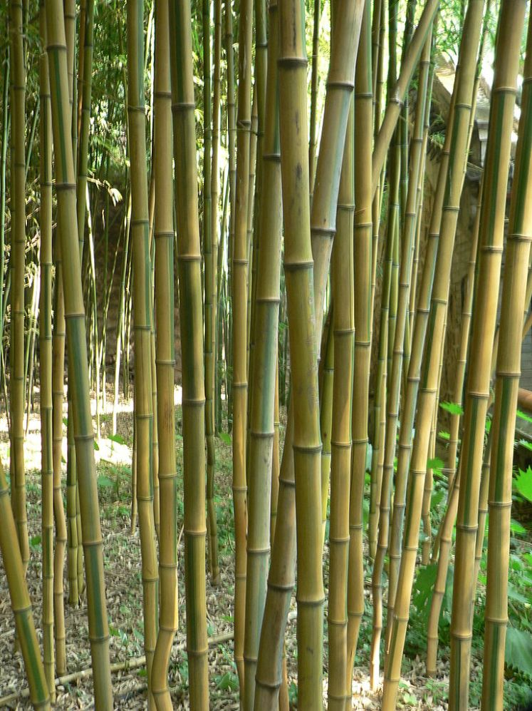 Yellow groove bamboo
