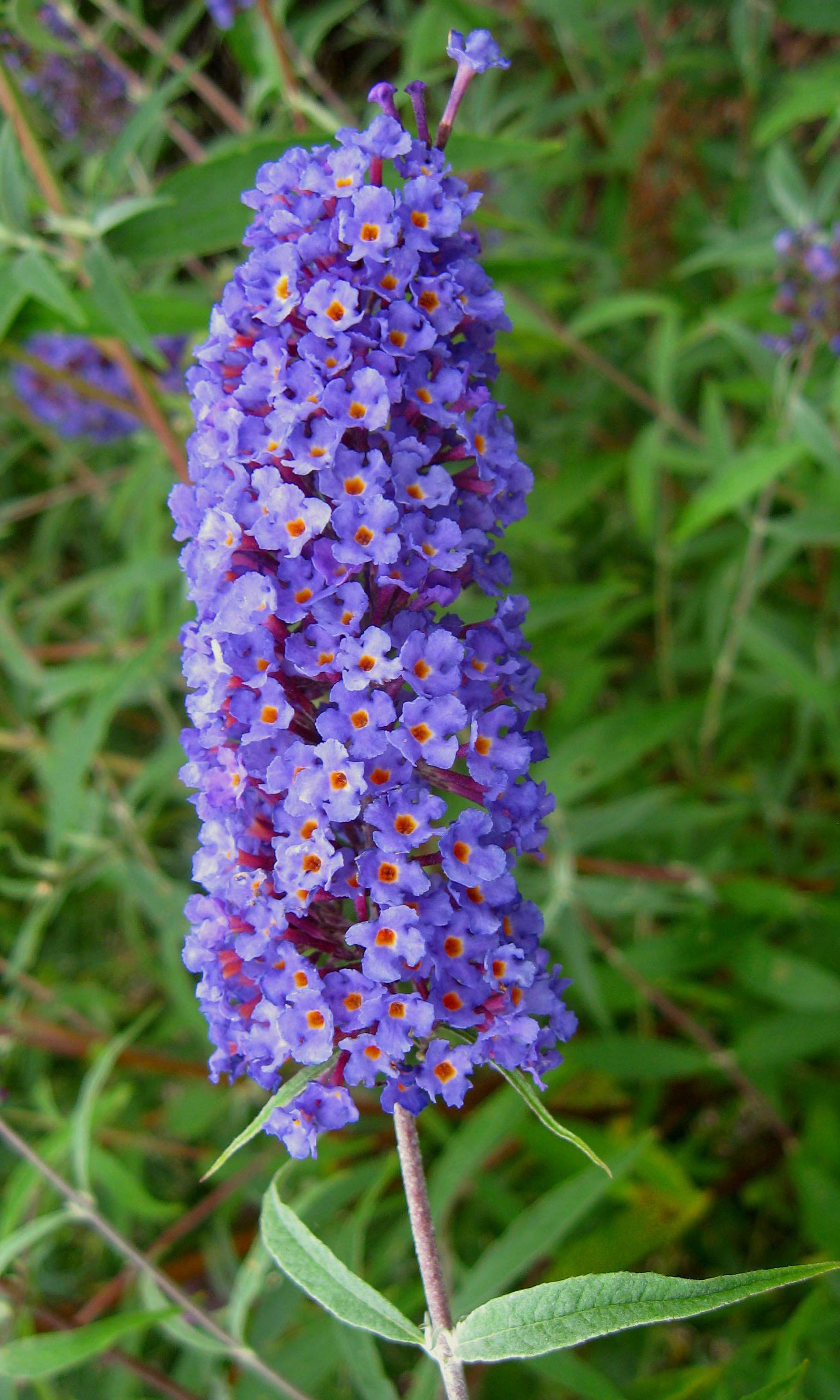 Plant Of The Month April 2015 Butterfly Bush Glacier