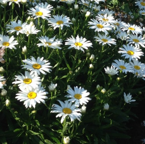 The Shasta Daisy is a great backdrop plant in a perennial garden because of its height