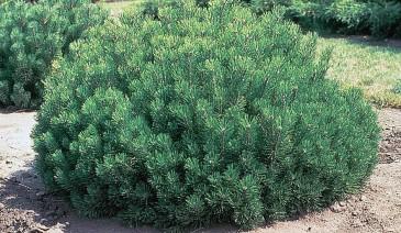 Beauvronensis Dwarf Scots Pine