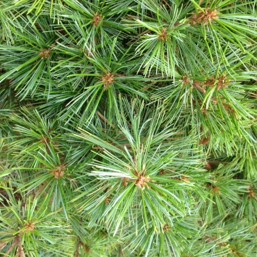 Scots Pine is the only pine native to Northern Europe.