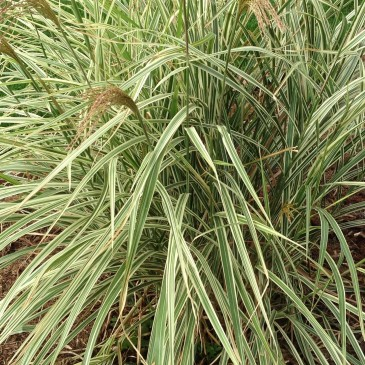 Firestone colorado glacier view landscape and design inc plant of the month october 2015 variegated maiden grass workwithnaturefo
