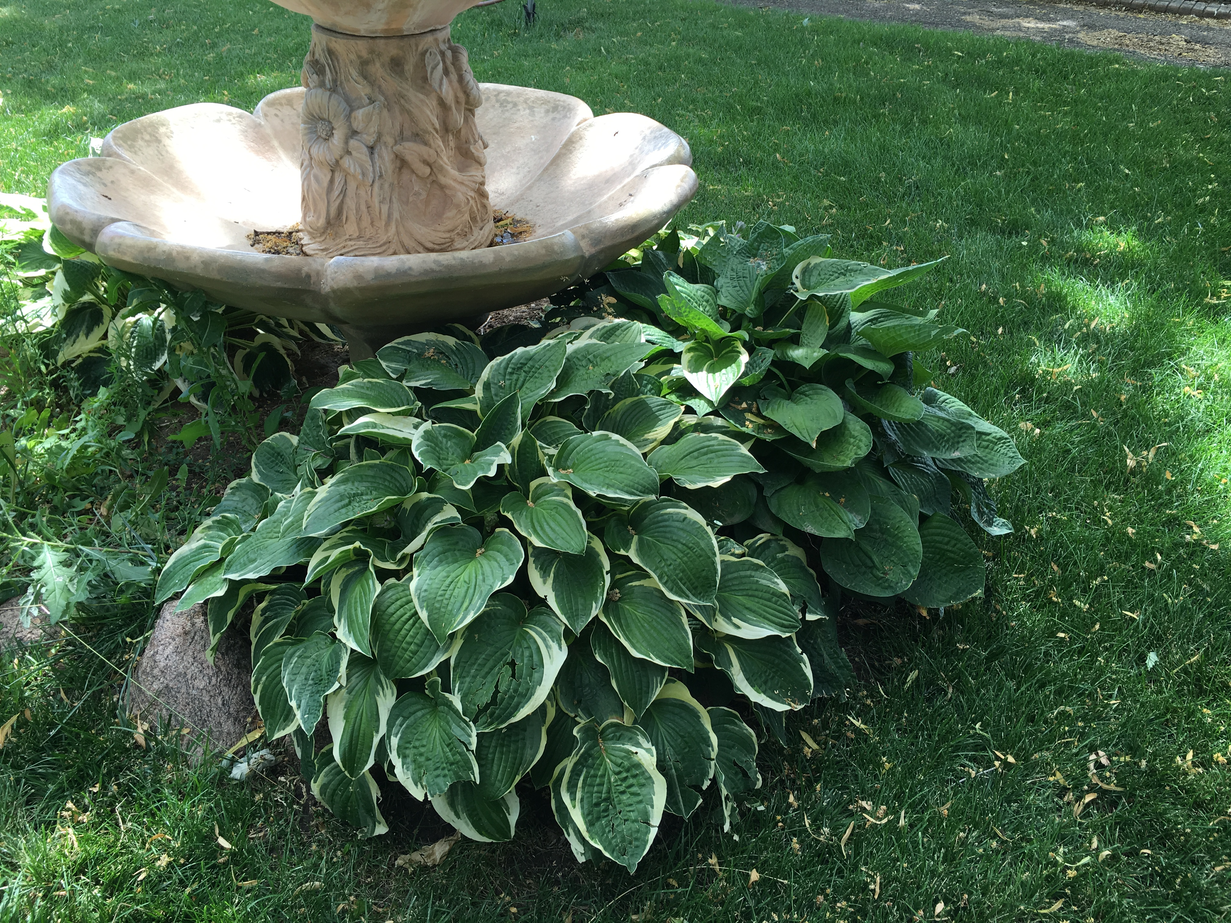 Hostas Are The July 2016 Plant Of The Month Glacier View Landscape