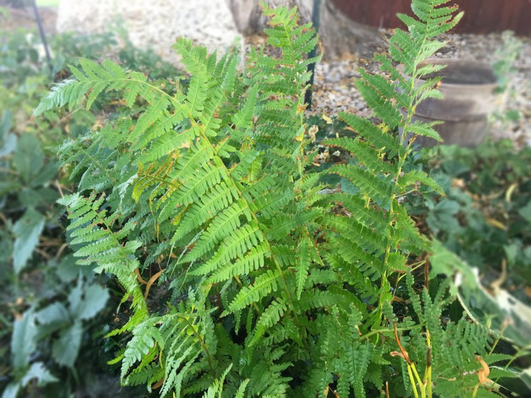 Ferns are the August 2016 plant of the month at Glacier View Landscape