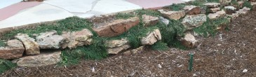 Once established with roots under rocks, they can survive on little to no additional moisture