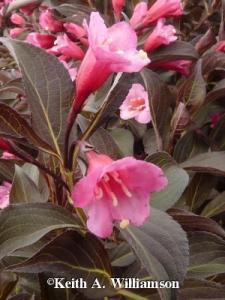JUNE: WEIGELA