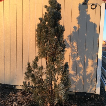 Plant of the month for Boulder Colorado landscapes