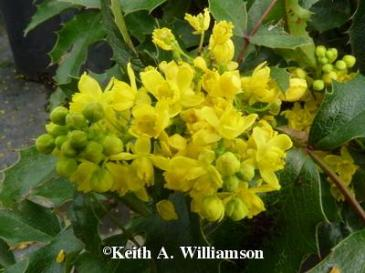 Photo by Keith A. Williamson featuring our plant of the month for Longmont, Colorado landscaping service