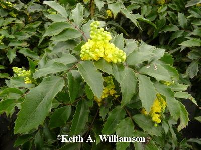 Compact Oregon Grape Holly Is The February 2018 Plant Of The Month