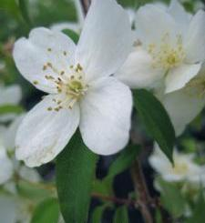Philadelphus Photo by by Keith Williamson
