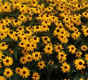Black Eyed Susan for Longmont Colorado Landscapes