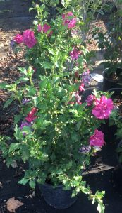AUGUST: Hibiscus syriacus aka Althea aka Rose of Sharon