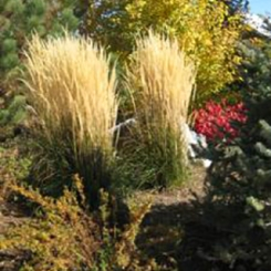 ornamental-feather-reed-grass-Louisville-colorado-landscaping