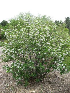 Black Chokecherry for Erie CO landscaping projects