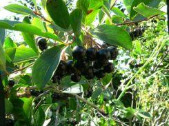 Black Chokecherry-shrub-fruit for Erie Colorado landscaping