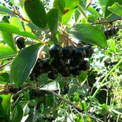Black Chokecherry-shrub-fruit for Erie Colorado landscaping