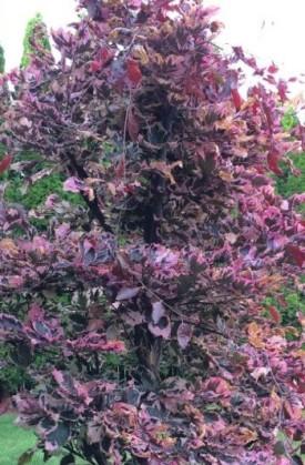 Tricolor Beech for Broomfield, Colorado landscapes