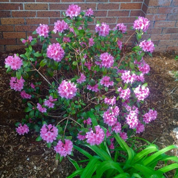 Rhododendron is the late Spring 2019 featured plant for Boulder, CO landscapes