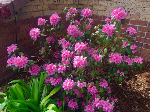 Rhododendron is the late Spring 2019 featured plant for Boulder Colorado landscapes
