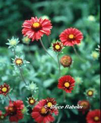 Gaillardia-for landscape designs in boulder CO