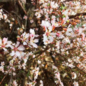 Erie Colorado landscaper - Nanking Cherry or Prunus tomentosa