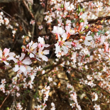 Erie Colorado landscaper - Nanking Cherry or Prunus tomentosa
