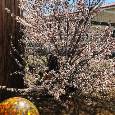 Nanking Cherry or Prunus tomentosa Erie COLORADO landscaping service copy
