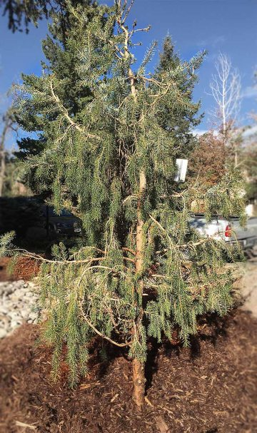Erie Colorado Landscapes-Weeping Serbian Spruce