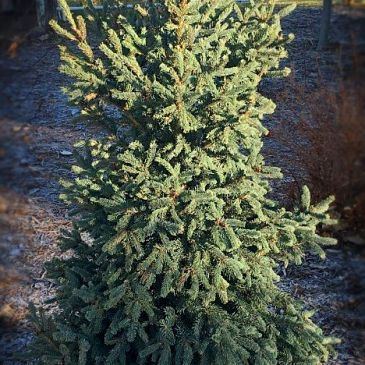 Landscaping service Yukon Blue White Spruce Longmont Colorado