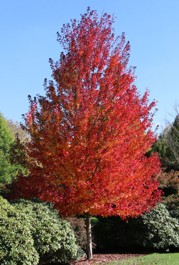 Redpoint Maple-erie-colorado-landscaping