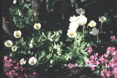 Longmont Colorado-landscaper-Windflower2
