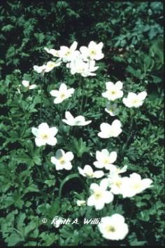 Longmont Colorado-landscaping-Windflower1