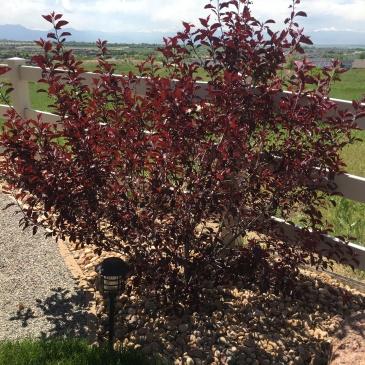 Purple Leaf Sand Cherry-Boulder-CO-landscaper