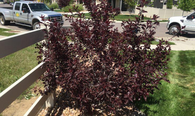Purple Leaf Sand Cherry-Boulder Colorado landscape service