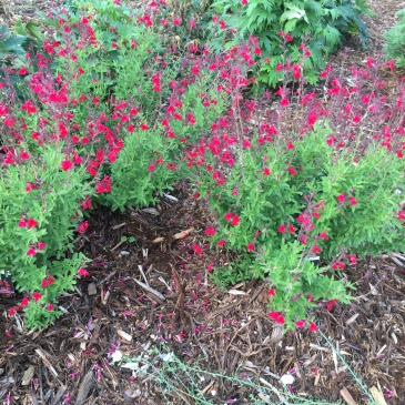 Furman's Red Salvia-Erie-Colorado-Landscape-Design