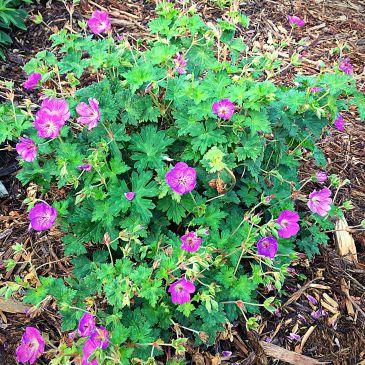 Cranesbill Geranium for Longmont CO landscaping